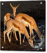 Springboks Drinking Acrylic Print