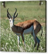 Springbuck And Butterfly Acrylic Print
