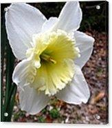 Spring's First Daffodil 1 Acrylic Print