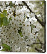 Springtime Abundance - Masses Of White Blossoms Acrylic Print