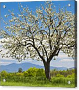 Springtime Apple Tree Panorama Acrylic Print