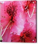 Springtime Azalea Acrylic Print