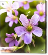 Springtime Blooms Violet Wood Sorrel 3 Acrylic Print