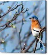 Springtime Blue Acrylic Print