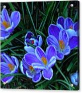 Springtime Crocous Acrylic Print