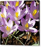 Springtime Crocuses  Acrylic Print