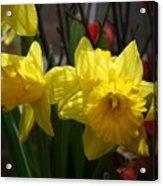 Springtime Daffodils Acrylic Print