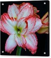 Springtime Florida Amaryllis Acrylic Print