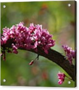Springtime Forest Pansy Redbud Branch Acrylic Print