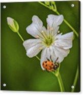 Springtime Ladybug Acrylic Print