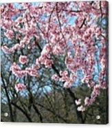 Springtime Seasonal Pink Blossom Flowers Baslee Acrylic Print