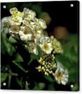 Sprinkles On Lantana Flower Acrylic Print
