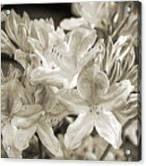Sprint Flowers B/w 1 Acrylic Print