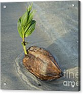 Sprouting Coconut Acrylic Print