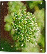 Sprouting Grapes Acrylic Print