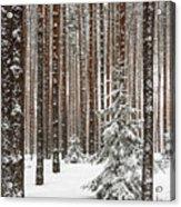 Spruce Among The Pines Acrylic Print