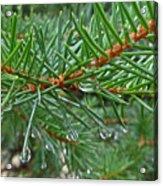 Spruce Drops Acrylic Print
