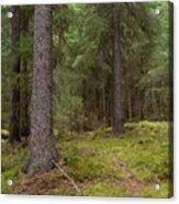 Spruce Forest  Acrylic Print