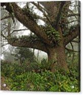 Spruce In Fog Acrylic Print