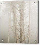 Spruce In The Fog Acrylic Print