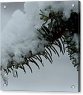Spruce Needles And Ice Acrylic Print