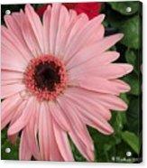 Square Framed Pink Daisy Acrylic Print