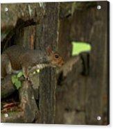 Squatting Squirrel Acrylic Print