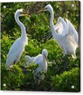 Squawk Of The Great Egret Acrylic Print