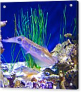 Squid In Monterey Aquarium-california Acrylic Print
