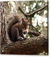 Squirrel 8 Acrylic Print