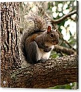 Squirrel 9 Acrylic Print