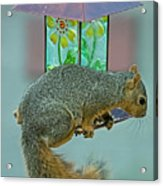 Squirrel At The Bird Feeder Acrylic Print