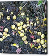 Squirrel Cache In Compost Pile Acrylic Print