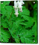 Squirrel Corn Acrylic Print