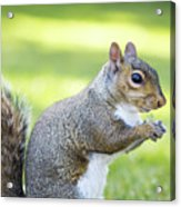Squirrel Eating Grapes Acrylic Print