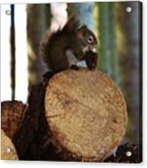 Squirrel Eating Pinecones Acrylic Print
