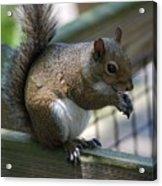 Squirrel II Acrylic Print