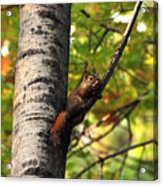 Squirrel In Fall Acrylic Print