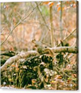 Squirrel In The Woods  Acrylic Print