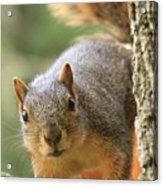 Squirrel Look Acrylic Print