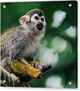 Squirrel Monkey Looking Up Acrylic Print
