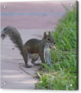 Squirrel Nuts Acrylic Print