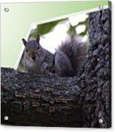 Squirrel On A Limb Acrylic Print