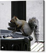 Squirrel On Garbage Can Acrylic Print by Richard Mitchell