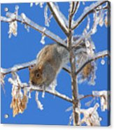 Squirrel On Icy Branches Acrylic Print
