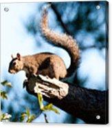 Squirrel On Limb Acrylic Print