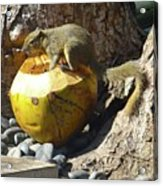 Squirrel On The Coconut Acrylic Print