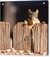 Squirrel On The Fence Acrylic Print