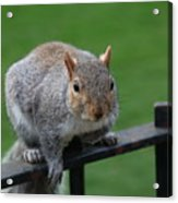 Squirrel Watching Acrylic Print