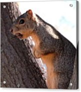 Squirrel With A Nut Acrylic Print
